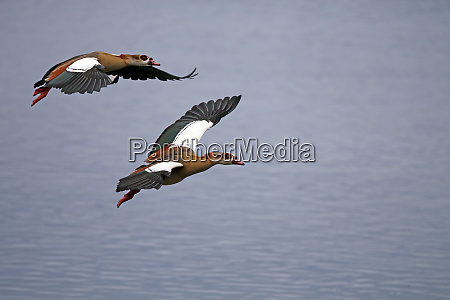 flying nile geese alopochen aegyptiaca in