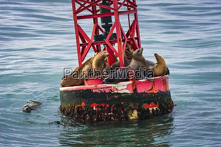 california sea lions zalophus californianus on