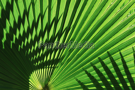 backlight on california fan palms anza