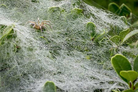 sheet web spiders with webs los