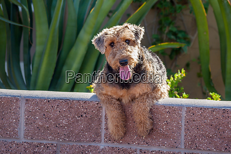 airedale coming over a wall