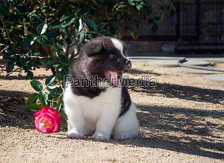 akita sitting next to a rose