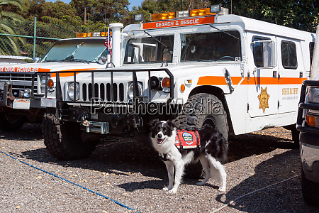 border collie search and rescue dog