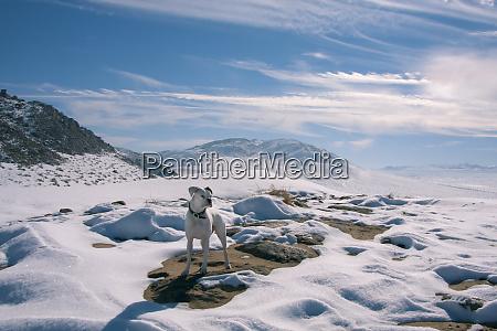 white boxer in snow