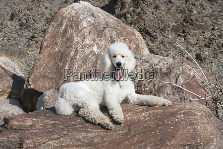 standard poodle laying on desert boulders