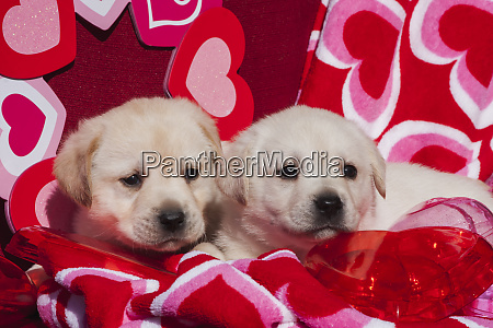 two yellow labrador retriever puppies surrounded