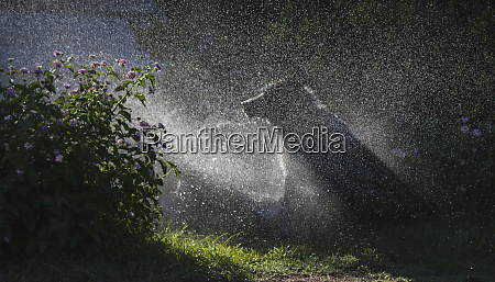 herding, dogs, at, play, in, water - 27859216
