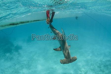 great hammerhead shark sphyrna mokarran research