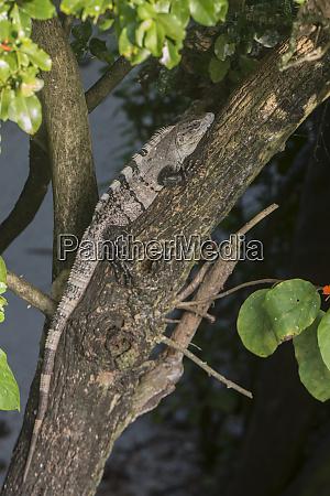 black spiny tailed iguana or wish