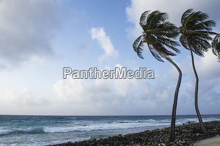 coconut palm cocos nucifera half moon