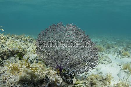 common sea fan gorgonia ventalina lighthouse