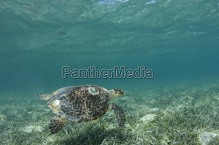 hawksbill turtle with satellite tag eretmochelys