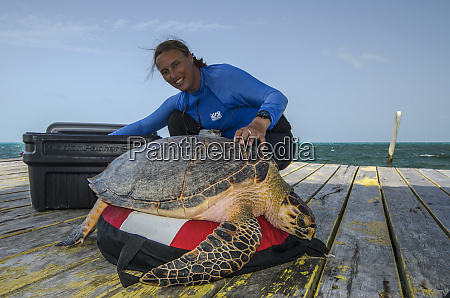 hawksbill turtle capture eretmochelys imbricata for