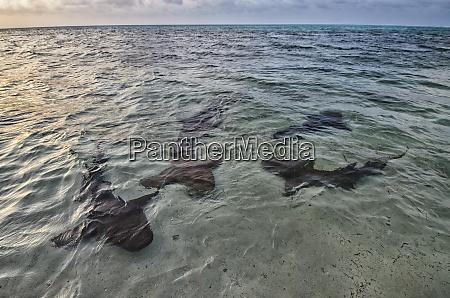 nurse shark ginglymostoma cirratum maralliance half