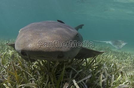 nurse shark ginglymostoma cirratum over turtle