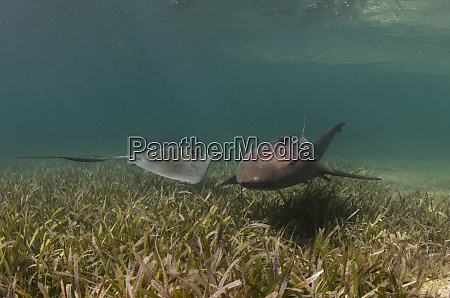 nurse shark ginglymostoma cirratum and southern