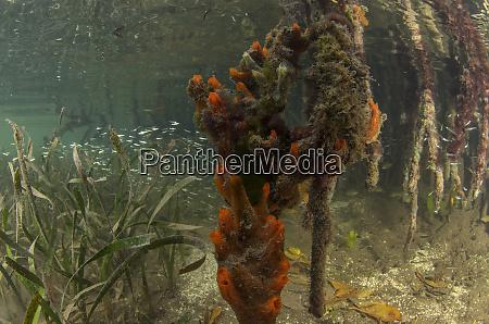 orange sieve encrusting sponge diplastrella on