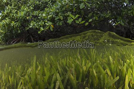red mangrove rhizophora mangle and turtle