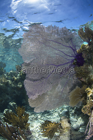 venus sea fan gorgonia flabellum lighthouse