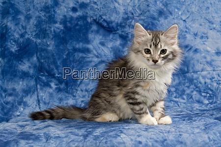 cat siberian forest cat 2009 3106