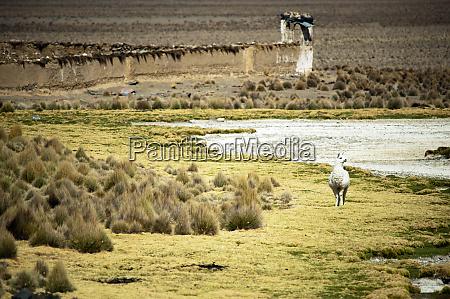 lonely llama sajama national park bolivia