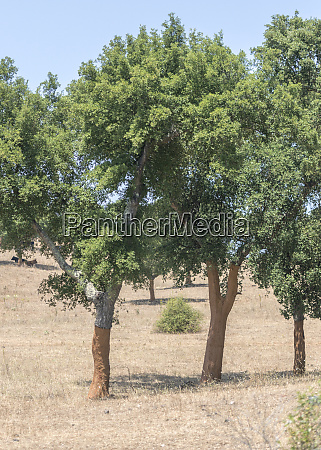 portugal cork trees