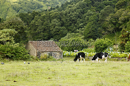portugal azores cows on farm in