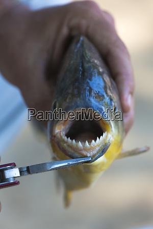 brazil mato grosso the pantanal piranha