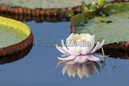 brazil the pantanal flower of the