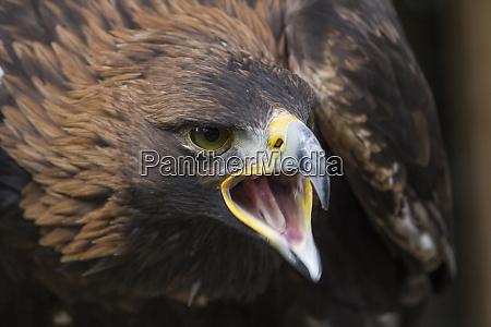 liberec sychrov golden eagle falconry show