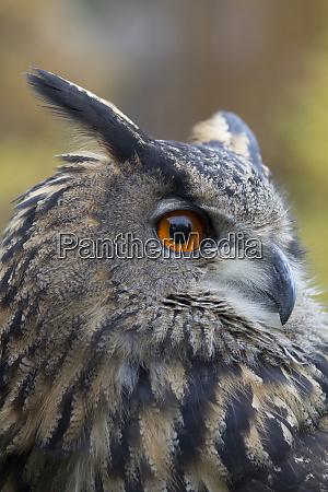 czech republic liberec eagle owl bubo
