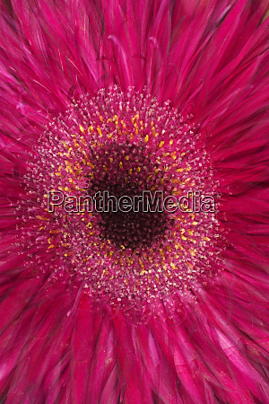 multiple exposure of gerber daisy