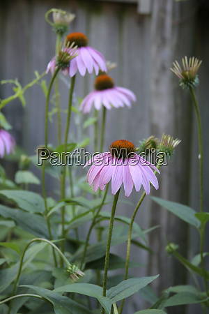 pink coneflowers against a rustic fence