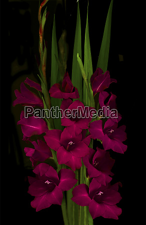 red gladiola large format sizes available