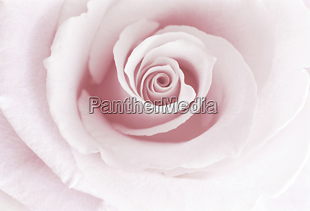 rose abstract