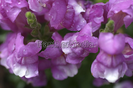 purple snapdragon