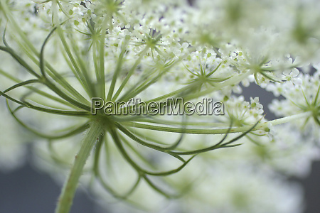queen annes lace bloom