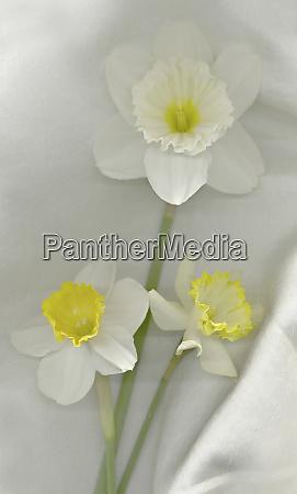daffodil, still, life - 27872252