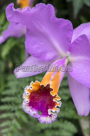 purple orchid usa