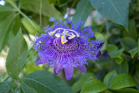 passion flower usa