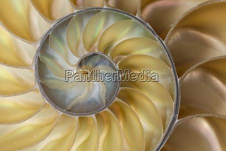 chambered nautilus shell nautilus pompilius