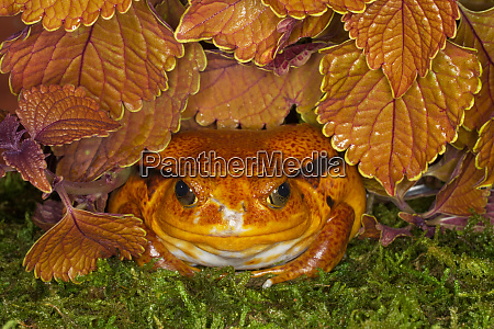 tomato frog dyscophus antongilii native to
