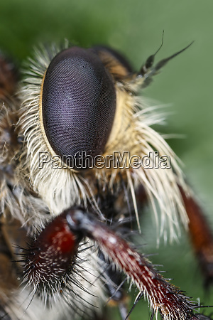 robber fly close up of eye