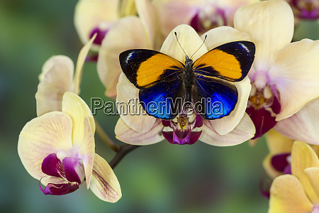 brush footed butterfly callithea davisi on