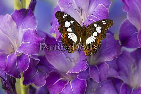 tropical butterfly moduza mata amida