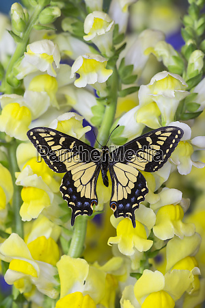anise swallowtail butterfly papilio zelicaon