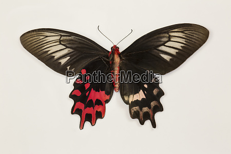 female batwing butterfly atrophaneura simper top