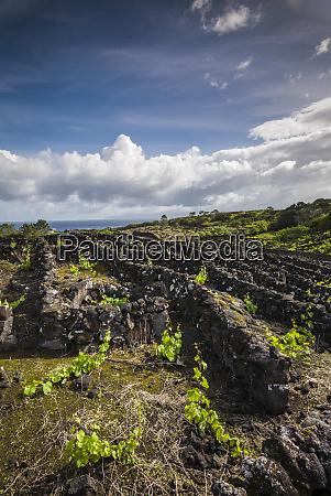 portugal azores pico island cabritos vineyard