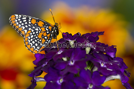 baltimore checkered spot butterfly