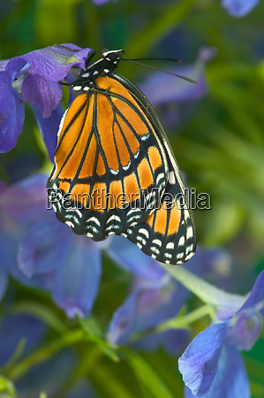 viceroy butterfly that mimics the monarch
